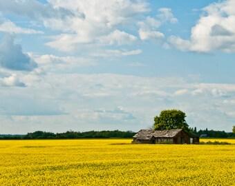 Canola field, summer, old farm building, photography, agriculture, landscape, farming, photographic print