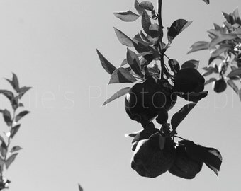 Apples on a Tree - Black and White Photography - Photo Download