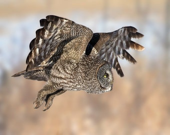Great Gray Owl, Owl Print, Owl Image, Nature Print, Nature Photo, Bird Picture, Bird Photography, Great Grey Owl, Beautiful Owl, Amazing Owl