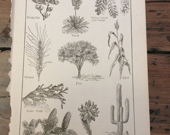 Antique Print - Plant Life of North American - Book Page (A962)