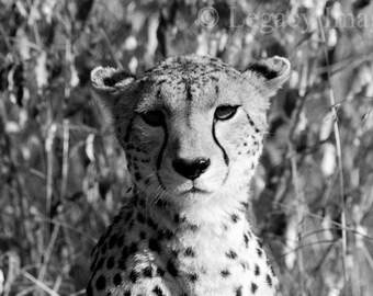 Cheetah, Photography, Cheetah Photo, Wildlife, Photography, Black And White, Africa, Safari, Animal, Photograph, Wall Art, Nursery Art, Cat