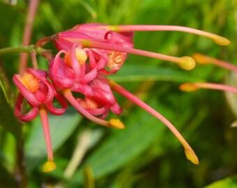 "Grevillea ""Splendour"" x 4 Plants"