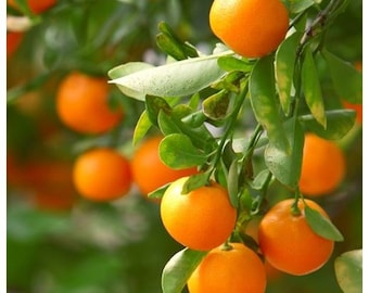 Clementine Tree, 2-3 Year Old (2-3 Ft), Potted, 3 Year Warranty