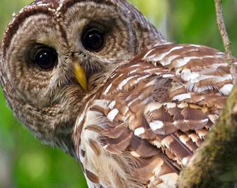 Barred owl - Owl Photography - Wall Art