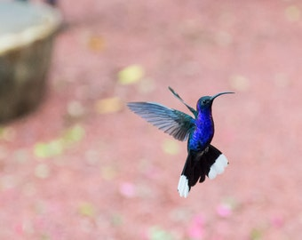 Nature Photography, Hummingbird in flight, the Hummingbird Garden at La Paz Waterfall Gardens, Costa Rica, Matted on Black