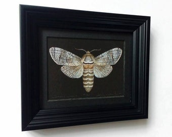 Framed Limited edition print - Cossus cossus - Goat Moth