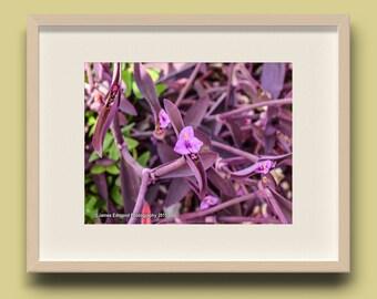 Nature, setcreasea, tenerife, purple heart flower, Flower Photography, Nature Photography, Wall Art, Flower Art, Wall Decor