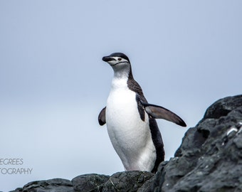 Chinstrap Penguin - Antarctica Photo
