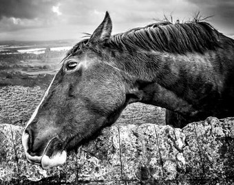 Black and White Horse Portrait - Morning Scratch