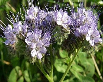 Violet Lacy Phacelia Flower Seeds/Tanacetifolia/Annual   75+