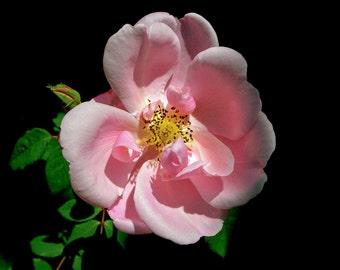 OLD ROSE - photograph, rose, pink rose, wall art, coastal, flower