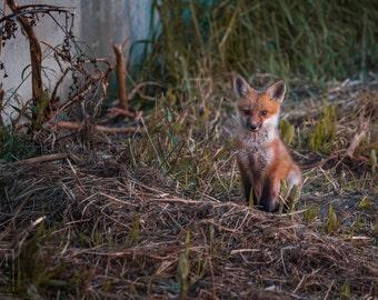 Red Fox Kit Prints