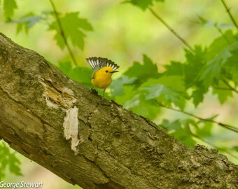 Prothonatary Warbler Photo