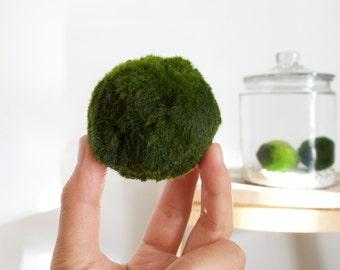 Giant Marimo Moss Ball