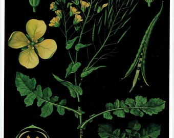 Old School Poster Botanical mustard flower, fruit