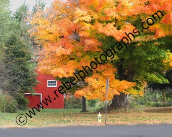 Maple tree and barn