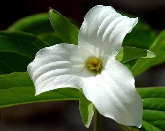 5 White Trillium,Wood Lily bulbs-(Trillium graniflorium)