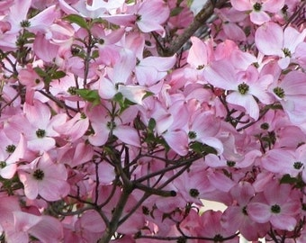PINK DOGWOOD Tree