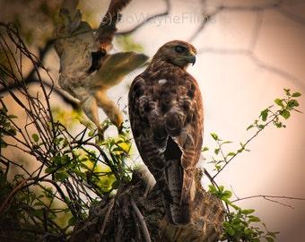 Redtail Hawk Take Off (Natural) BWF0107