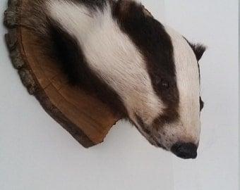 Taxidermy Badgers head