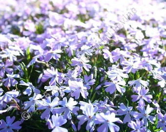 Purple flower photo - field of purple flowers