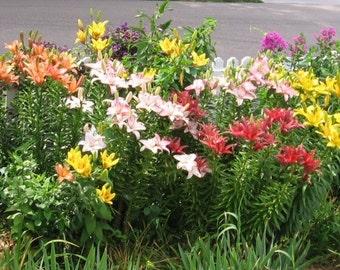 24 Bulb Lily Garden