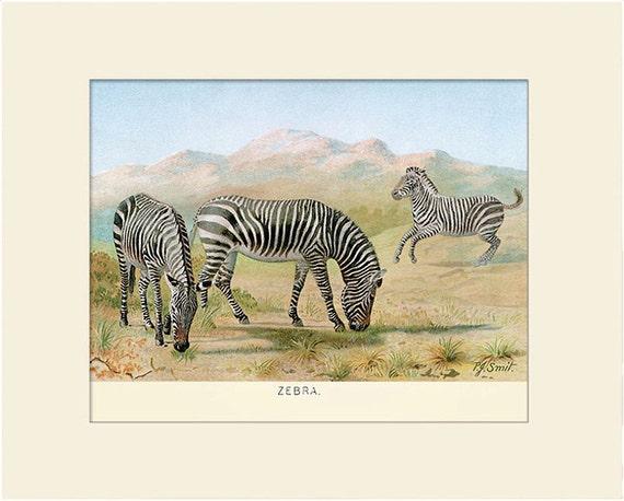 Wild Zebra Print, Art Print with Mat, Antique Natural History Illustration, Wall Art, Vintage Wall Decor, Animal Print