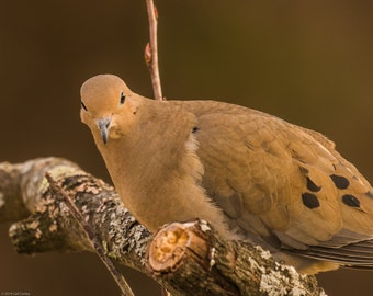 Mourning Dove Notecards