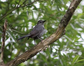 The Grey Catbird