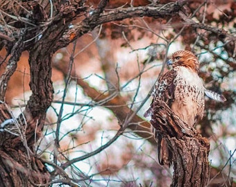 Loess Hills Red Tail