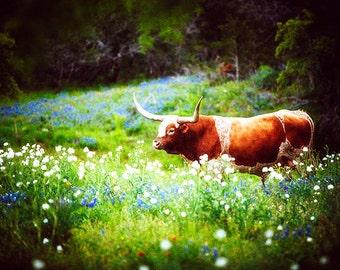 Texas Longhorn Photography, Bluebonnets Photo, Springtime, Farm, Longhorns, Rural, Cowboy, Old West, Cattle, Animal, Texan, Ranching, Bovine
