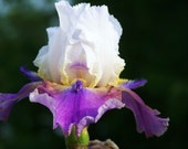Chiricahua Canyon,one iris rhizome