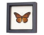 Real Framed Monarch Butterfly Display