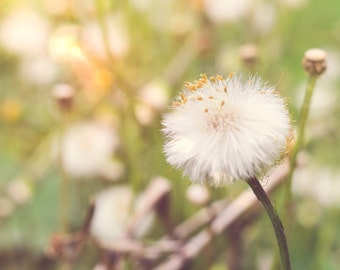 dandelion seed photo, Fine Art Photography, green yellow nature wall art, wild flower photo, meadow botanical decor home bedroom picture zen