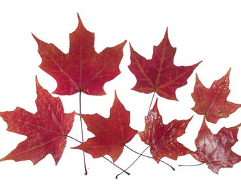 12 UV Resistant Coated, Lustrous, Soft, Supple  Real Pressed Red MAPLE LEAVES, Use for Pressed Leaf Artwork, Fall Wedding & Holiday Decor