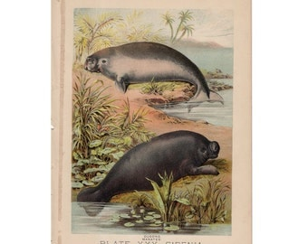 1880 MANATEE & DUGONG lithograph - original antique print - wild life mammal zoology lithograph - animal habitat