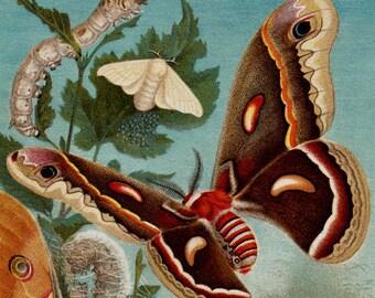 1889 Antique print BUTTERFLY Butterflies, silkmoth and silkworm, big butterflies, fine antique ENTOMOLOGY lithograph