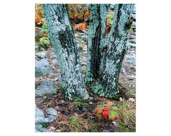 "Fine Art Color Nature Photography of Trees - ""Tree Trio in Lichen"""