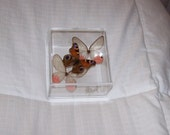 Real Adorable Center Butterfly with Two Clear Wing Accents