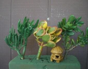 Large 2 bunch Living Succulent Jade Bonzai Cuttings