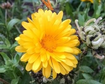 25 Pot Marigold Seeds