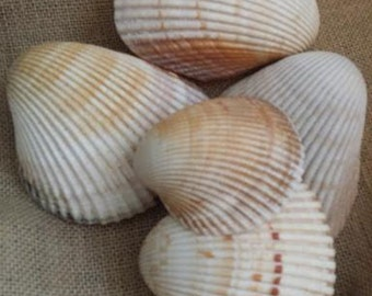 Giant Atlantic Heart Cockle Shell/ Dinocardium Robustum Cockles, Ribbed Clams, Ark Shells, Supplies for Crafts, Coastal Home Decor