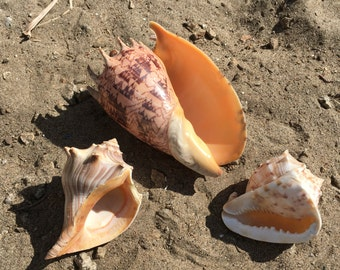 Trio of Big Shells Seashell - Garden decor - Coastal Decor - Shell - Seashells