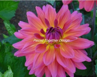 5 x 7 Photograph - Dahlia - Yellow and pink