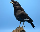 real birds taxidermy of myna  ,cool gift,free shipping