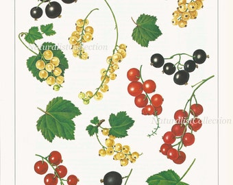 Fruit Print 1991 Vintage Art Original Book Plate 39 Beautiful Red White Black Currant Plant Chart Berries Room Wall Decor Bookplate Picture