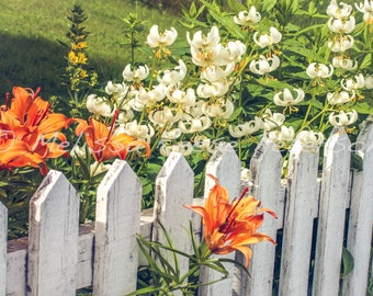 White Picket Fence, Flower Photography, Fine Art Print, Floral Decor, Orange Daylilies, Floral Wall Art