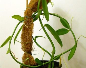 Vanilla Chamissonis Live Plant