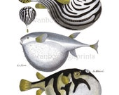 Vintage Coastal Home Decor. Puffer Fish Print aka Blowfish Print. Coral Reef Sealife Art Print. Puffer Fish Picture. Beach Theme Bathroom