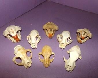 8 Real animal Beaver Bobcat Skull real animal bone taxidermy skeleton tooth head part damage